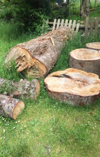 Tronc de pin centenaire